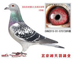克拉克老雄*三关鸽王冠军(石板)