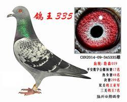 鸽王亚军335