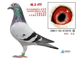 父:鸽王470