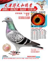 世界铭鸽【大老板】直子 631