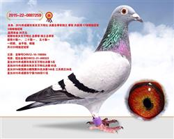 决赛季军 鸽王季军