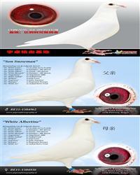 白鸽6-CH15-04-0935312