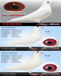 白鸽7--CH15-04-0935481