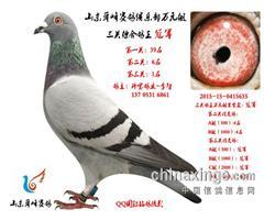 山东舜峰俱乐部万元组鸽王冠军