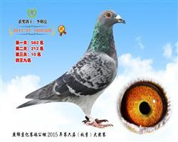 2015年京亿公棚决赛10名鸽王9名