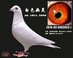 白色幽灵(白雪公主)白鸽
