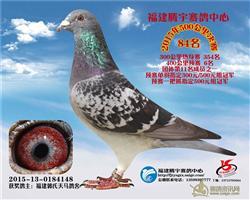 郭氏天马148,此鸽目前在鸽舍