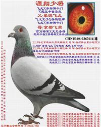 源翔少将-2015年北京克劳沃鸽王冠军