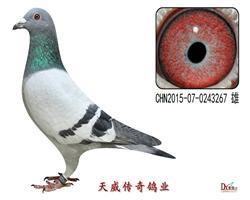 天威2号种鸽