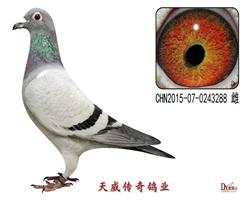 天威1号近亲种鸽
