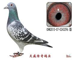天威4号近亲种鸽