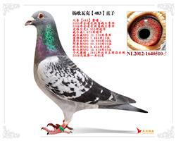 杨欧瓦克【483】直子