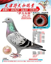 【伊万女郎】世界铭鸽【伊万号】直女