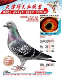 世界铭鸽【伊万号】直子 185