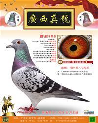 鸽王585