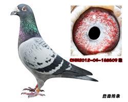 詹森子代鸽-168609(已售)