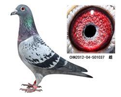 詹森子代鸽-501037(已售)