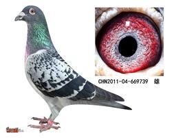 詹森子代鸽-669739(已售)