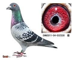 詹森子代鸽-032330(已售)