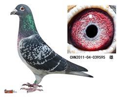 詹森子代鸽-039595