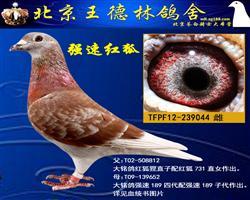 红狐731孙女(强速鸽舍郑明吉作出)