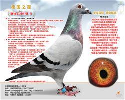 徳国之星〈幼鸽鸽王冠军〉