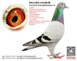 【爱罗斯】:15年KBDB长距鸽王6位!