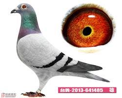 台鸽2013-641485