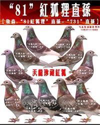 ◆路易斯.詹森;绝版高代种鸽