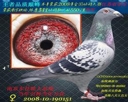 全国幼鸽赛江苏省季军