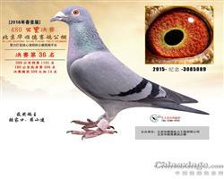 北京华顺德赛鸽春棚36名