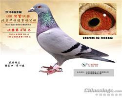 北京华顺德赛鸽春棚478名
