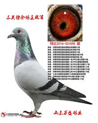 最新成绩鸽出售
