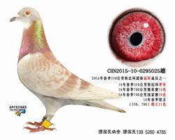 靖江市一岁鸽特比环团体冠军之025