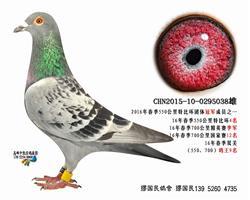 靖江市一岁鸽特比环团体冠军之038
