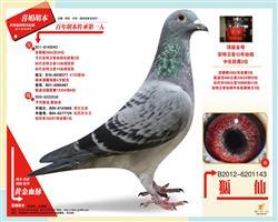 胡仙:12年安特卫普联盟中长距离鸽王季军