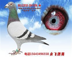 电脑戈马利原棚金环种鸽-速度号直子