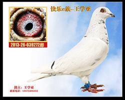 白鸽272