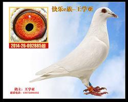 白鸽885