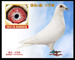 白鸽850