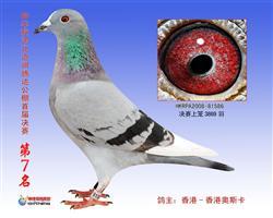 香港奥斯卡超级种鸽