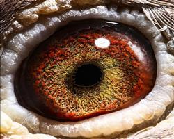 火狐狸眼睛