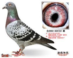 詹森种鸽304722