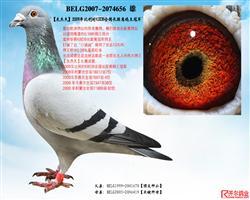 【灰杰夫】:09年KBDB长距鸽王冠军!