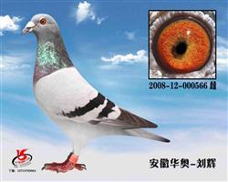 08年南京铁鸽三项公棚600公里亚军