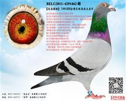 【葛洛丽娅】:13年KBDB长距鸽王亚军