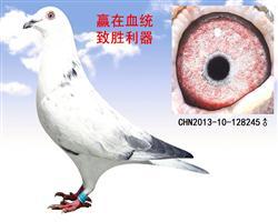 苍白王子基础种鸽(转让)