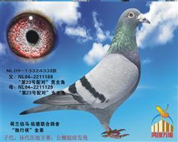 世界鸽王冠军【独行侠】全弟!