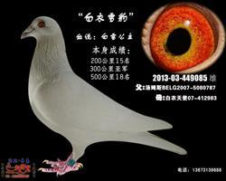 白衣雪豹(白雪公主)白鸽