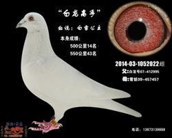 白龙高手(白雪公主)白鸽
